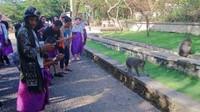 Banyak sekali turis yang befoto dengan monyet yang berkeliaran di area Pura Luhur Uluwatu dan tidak sedikit monyet yang menjahili para pengunjung dengan mengambil topi/kacamata para turis.tapi, tenang aja karena ada pawang yang membantu para turis apabila dijahili oleh para monyet tersebut.