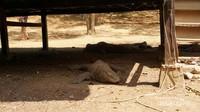 Komodo sangat mudah ditemui di Pulau Rinca.