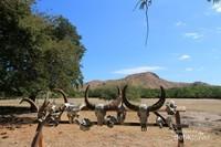 Tengkorak hewan hewan ini adalah sisa sisa dari makanan Komodo. Kini tengkorak ini menjadi pemanis di kawasan Pulau Rinca.