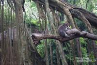 Kera asyik bertengger di batang pohon beringin