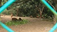 Rusa Bawean, hewan endemik yang hanya ada di Pulau Bawean