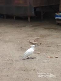 Di sekitar pemakaman terdapat banyak burung-burung berwarna putih