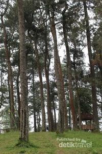 Pohon pinus yang ada di bagian atas Tenggir Park, membuat suasana semakin sejuk