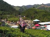 berfoto di sebagian kebun teh Kaligua