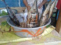 Ini cakalang asap berukuran sedang, harganya seekor Rp 60.000. Dinikmati bersama ketan bakar di dalam bambu yang harganya Rp 50.000 per batang. Kami membelinya di warung dekat Pelabuhan Rum Tidore