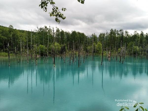 Blue Pond, telaga cantik berwarna biru di Biei, Hokkaido