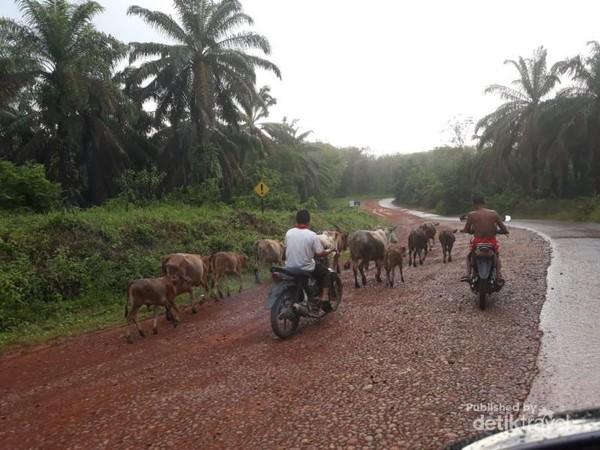 Ketika sedang melintasi perkebunan sawit di Sumatera Selatan dalam perjalanan saya ke Jambi, saya bertemu dengan penggembala sapi yang mengunakan sepeda motor. Tradisional dan modern bergabung menjadi satu.