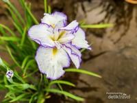 Bunga iris di festival