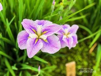 Bunga iris cantik dengan bagian kuning di tengah, khas untuk benga iris Jepang