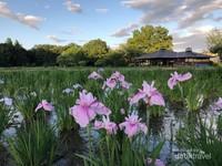 Kitayama Park, Higashimurayama, Tokyo sebelum festival dan bunga iris yang belum mekar seluruhnya