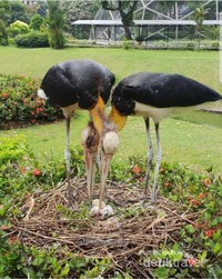 Sebuah keberuntungan yang sangat amat langka dapat menyaksikan sendiri Burung Bangau dengan anak-anaknya yang Baru menetas