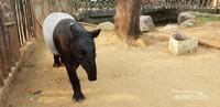 Ini adalah salah satu satwa yang dapat membuat kaki berhenti lama untuk melihatnya, namanya tapir. Salah satu mamalia besar yang ada di Indonesia, panjangnya bisa mencapai 2,5 meter dan beratnya bisa mencapai 500 kg. Yang perlu kita ketahui tapir adalah keluarga dekat gajah