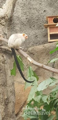 Dan ini juga salah satu primata mini yang tertarik untuk saya lihat. Berat badannya maksimal 400 gram dengan panjang tubuh 22 cm, satwa ini termasuk satwa yang dilindungi serta masuk perlindungan dunia CITES appendix II