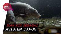 Ikan Koi jadi Senjata Lingkungan di Jepang Tetap Bersih!