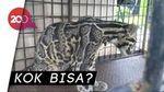 Macan Dahan Masuk Kolong Rumah Warga di Riau