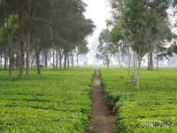 Perkebunan Teh Malabar yang luasnya sekitar 2.022 hektare, terletak di daerah Pangalengan Kabupaten Bandung Jawa Barat