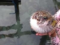 Ikan buntal di penangkaran Hiu Menjangan Besar
