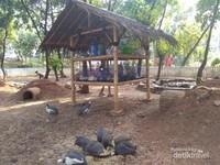 Ayam Mutiara Papua, penghuni Taman Kunci