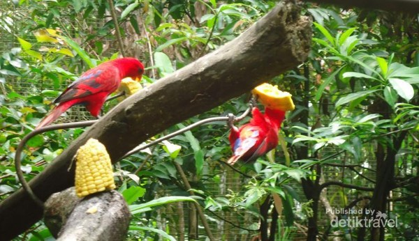 Burung-Burung berwarna merah terang bercampur hitam yang sedang menikmati menotol-notol jagung untuk makan siangnya.