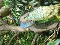 Burung Merak yang sangat mempesona.