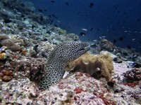 Dive Spot : Pulau Ai pulau ini menawarkan diving terbaik di Banda. Kedua pantai utara dan barat daya dari Ai dikelilingi dengan dinding karang yang sempurna,