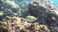 Ikan Clown Tang