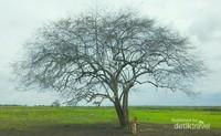 Pohon Raisa, unik ya