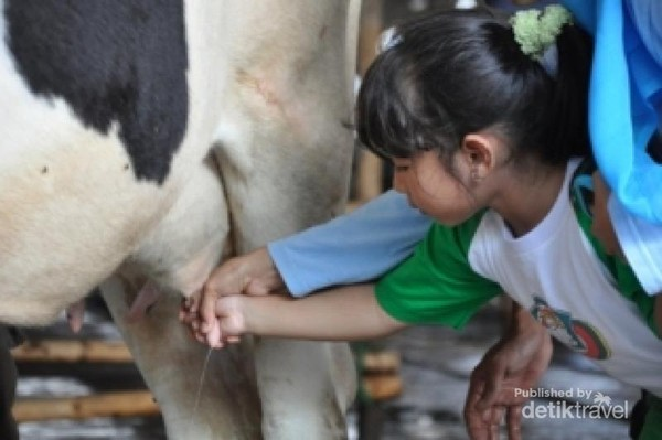 Memerah susu sapi.