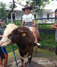 Asyiknya menunggang sapi kecil