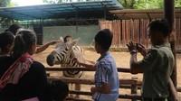 Bahkan traveler juga bisa memberi makan langsung zebra dan llama