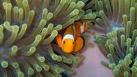 Di bawah laut sekitar Pulau Jemaja, kamu bakal sering bertemu dengan ikan badut nan lucu ini di sudut sudut karang.