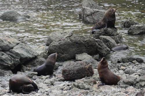 Pantai Ini Surganya Koloni Anjing Laut di Selandia Baru