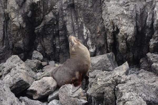 Batu-batu di pantai Palliser Bay menjadi bantal dan selimut kamuflase anjing laut.