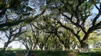 Inilah pohon trembesi yang ada di sekitar hutan, hijau dan rimbun dengan batang yang dilapisi lumut
