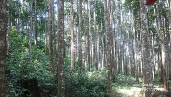Sesuai dengan namanya, traveler bisa menemukan hutan yang ditumbuhi pohon meranti putih