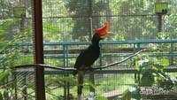 Tidak hanya hutan, di kawasan ini juga terdapat penangkaran burung yang dilindungi, salah satunya burung julang mas ini