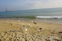 Kehadiran burung camar salah satu daya tarik yang ditawarkan di pantai Haeundae, Busan, Korea Selatan.
