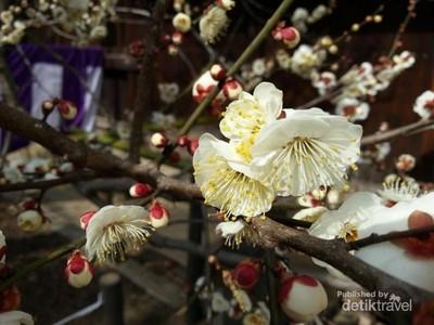 Melihat Bunga Ume Saat Musim Semi di Jepang