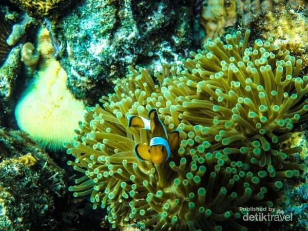 Di Karimunjawa terumbu karang dan ikannya masih alami, yuk terus dijaga