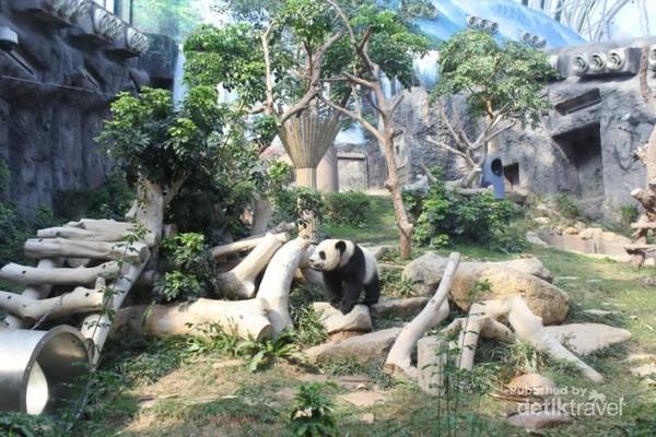 Nah, panda ini juga binatang yang aktif, loh..
