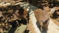 Selain memberi makan, rusa disini sudah jinak dan terbiasa berinteraksi langsung dengan pengunjung