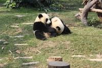 Duh, imutnya panda-panda ini! Gemas...