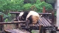 Panda lucu ini sedang nyenyak-nyenyaknya tidur