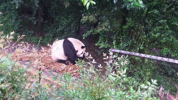 Lapar, panda ini asyik dengan makanannya