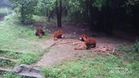Selain panda raksasa, disini kita bisa menemukan juga panda merah