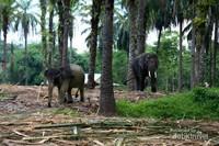 Gajah -Gajah di penangkaran
