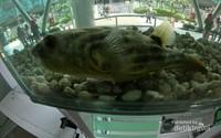 Ikan Nile Puffer, Ikan yang dilarang masuk ke Indonesia karena tergolong ikan berbahaya , sebab walau makanannya adalah moluska, tapi memiliki kandungan racun dalam tubuhnya.