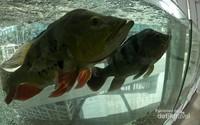 Peacock Bass, pemangsa ikan secara aktif dengan kecepatan tinggi dengan sebaran asli Guyama, Suriname, Brasil dan Kolombia. Termasuk dalam ikan berbahaya yang dilarang beredar.