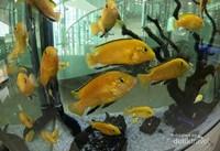 Ikan Lemon Cichlid, penggagalan impor dari Singapura, sebab walau cantik namun ikan ini termasuk kategori hewan berbahaya yang buas, suka menyerang dan agresif.