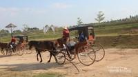 Berkeliling area persawahan dengan kereta kuda